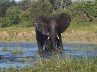 Botswana Elephants on safari